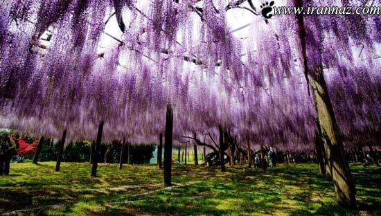 عکس هایی دیدنی از تونل گل رویایی ویستریا در ژاپن
