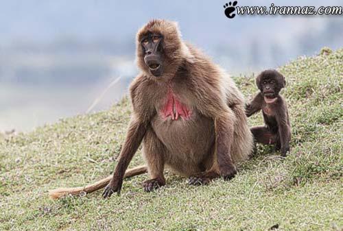 عجیب و شگفت انگیزترین مادران در حیات وحش (عکس)