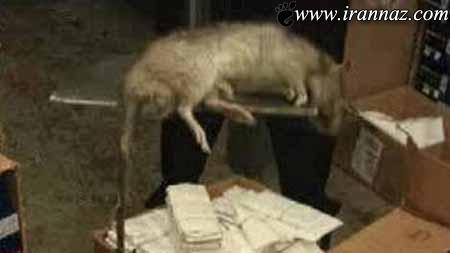 عاقبت خانمی که موش وارد شلوارش شد (تصاویر)