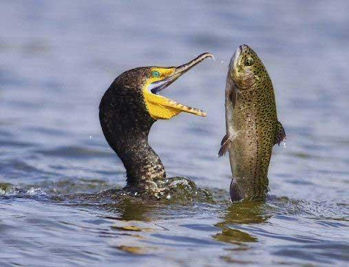 عاقبت ماهی قزل آلا رنگین کمان شور بخت (عکس)