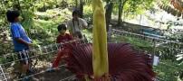 عکس هایی از بزرگترین گل دنیا که بوی بسیار بدی دارد