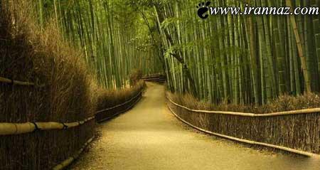 عکسهای شگفت انگیز از جنگل بسیار زیبای بامبو در ژاپن
