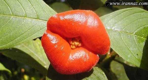 شباهت باور نکردنی این گل به لبهای انسان (تصاویر)