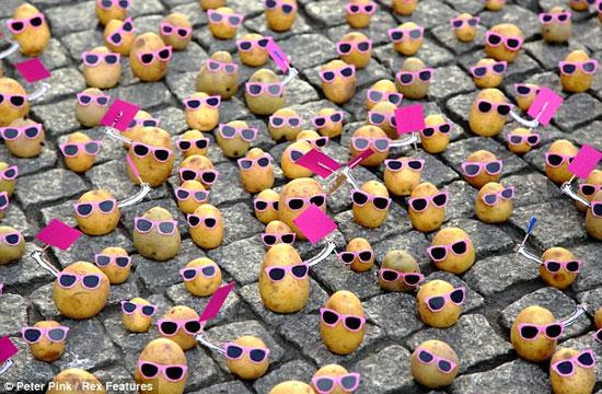 تجمع گروهای سیب زمینی  ها و خیارها(عکس)