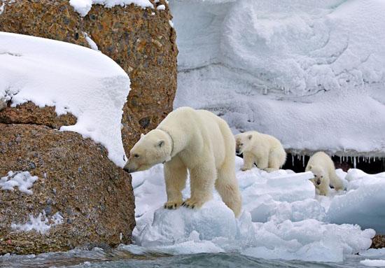 خانواده ی خرسهای قطبی به پیکنیک میروند (عکس)