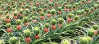آیا تا به حال درخت آناناس را از نزدیک دیده بودید؟