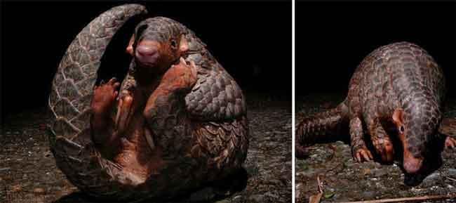با یک حیوان عجیب به نام پانگولین آشنا شوید (عکس)