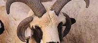 مشهور شدن این گوسفند عجیب الخلقه بخاطر ظاهرش