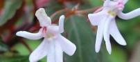عکس از گل هایی عجیب که شبیه دختر رقاص هستند!!