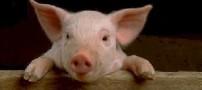 هشدار مورد نوع وخیم آنفلوآنزای خوکی