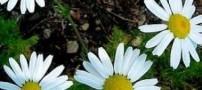 یک داروی گیاهی برای درمان زخم و ورم معده