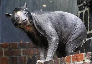 هجوم توریستها برای مشاهده خرسهای کچل در آلمان!