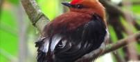 پرنده ای که با بالهایش آواز می خواند!