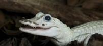 کشف تمساح سفید، نادرترین جانور جهان
