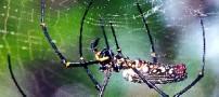 روش جالب عنکبوتها برای شکار