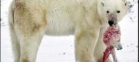 همنوع خواری  خرسهای قطبی بر اثر گرمای زمین!!