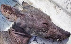 سگ خون آشام در آمریكا
