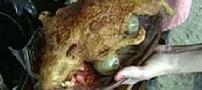 انسانها در هر سال یك میلیارد قورباغه می خورند!!