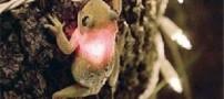 قورباغهای یک چراغ روشن را بلعید!! (+عکس)