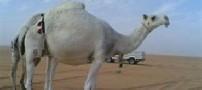 گران ترین شتر جهان
