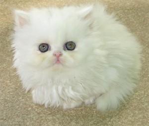 این گربه عجیب مرگ بیماران را پیش بینی میكند!!