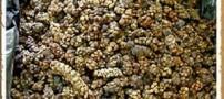 تهیه گرانترین قهوه از مدفوع حیوانی بنام لاوک