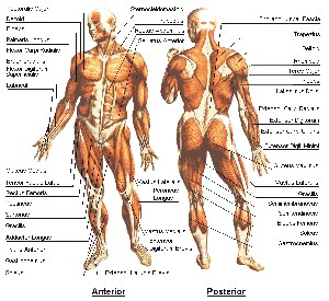Image result for دانستنی های بدن انسان