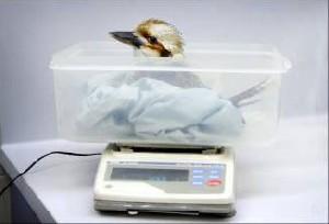 پرنده چاقی که باید رژیم بگیرد!+عکس