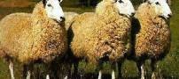 گوسفند چینى هم آمد