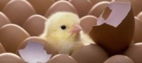 مشخص شد که اول مرغ به وجود آمد یا تخم مرغ