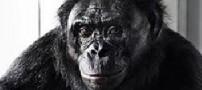 شامپانزهای که 400 واژه بلد است