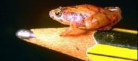 کوچکترین قورباغههای دنیا کشف شد