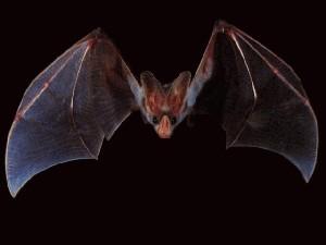 سیزده واقعیت در مورد خفاش ها