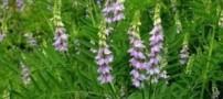 خواص درمانی گیاه شیرین بیان