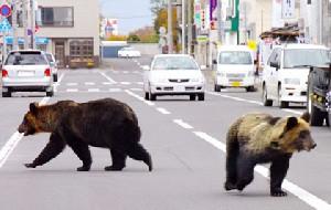 رفت و آمد خرسها در خیابان های ژاپن!
