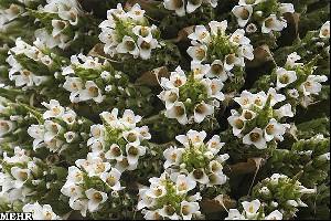گیاهی که فقط در یک قرن یکبار گل می دهد!!