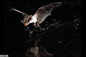کشف خفاشهای ماهیگیر در قاره اروپا