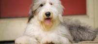 فداکاری بسیار عجیب سگ مبتلا به تومور مغزی!!