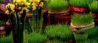 چگونه سبزه هفت سین نوروز را آماده کنیم؟