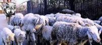 روش خنده دار یک چوپان برای کنترل گوسفندانش