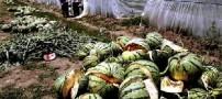 انفجار باور نکردنی هندوانه ها در چین !!