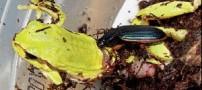سوسکی که قورباغه میخورد !!!