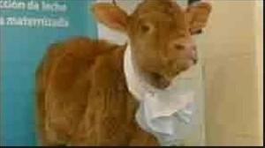 گاوی که می تواند شیر انسان تولید کند!! + عکس