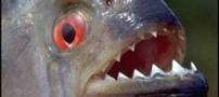 ماهی بسیار عجیبی که مانند سگ پارس می کند!!