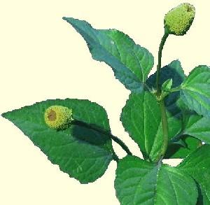 گیاهی که برای درد دندان مناسب است