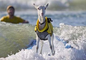 موج سواری خنده دار 2 بز در سواحل کالیفرنیا +عکس