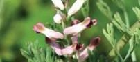 مبارزه با سرطان سینه با عصاره این گیاه