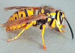با زنبور گزیدگی چه باید بكنیم؟