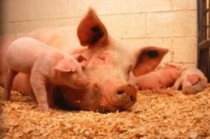 چرا در قرآن گوشت خوک حرام شمرده شده است؟!
