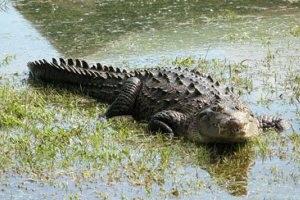 حمله مرگبار تمساح به یک دختر هفت ساله
